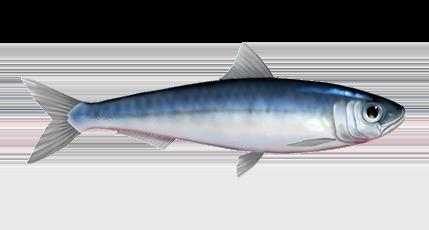Sardines Fish Png